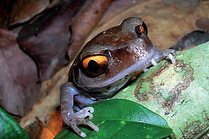 Smiths litter frog (Leptobrachium smithi), identified in 1999, one of 5 new frog discoveries in the Indian state of Assam. 