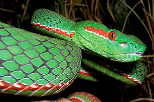 A male Gumprechts green pitviper (Trimeresurus gumprechti).  Officially discovered in 2002, Gumprechts green pitviper is venomous and capable of growing to 130cm in length. Scientists predict that larger specimens exist. 