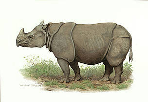 Javan rhinoceros (Rhinoceros sondaicus) / &copy;: WWF-Canon / Helmut Diller