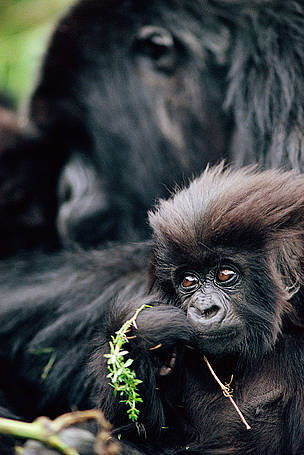 Mountain gorilla baby, Virunga National Park, Democratic Republic of Congo. / &copy;: naturepl.com/Bruce Davidson / WWF