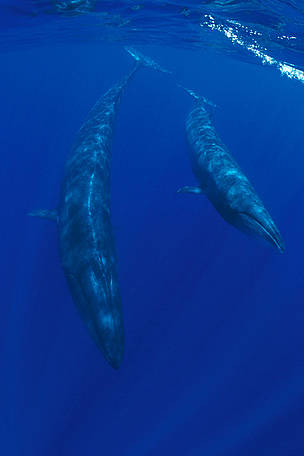 Sei whale and calf (Balaenoptera borealis) Azores, North Atlantic Ocean / ©: naturepl.com/Doug Perrine / WWF