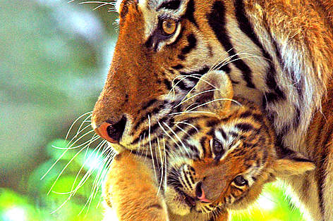Siberian tiger gently carries young cub in her mouth. rel=