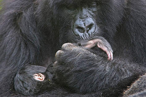 Mountain gorilla mother cradling and kissing foot of 1 week baby, Volcanoes NP, Virunga Mountains, ... rel=