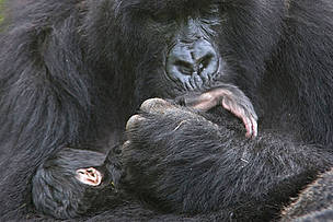 Mountain gorilla mother cradling and kissing foot of 1 week baby, Volcanoes NP, Virunga Mountains, ... / ©: naturepl.com /Andy Rouse / WWF