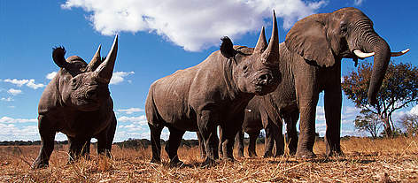 Black rhinoceros (Diceros bicornis) and African elephant (Loxodonta africana) Africa. rel=