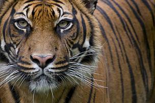 Tigre de Sumatra (Panthera tigris sumatrae)