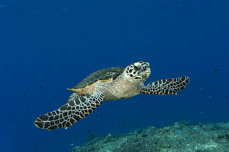 Hawksbill turtle swimming Through a reef rel=