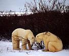 Zbog topljenja leda sve je manje staništa za polarne medvjede