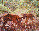 Tiger cubs playfully chase a leaf in Sumatra, Indonesia in an area of forest under threat of being cleared by the pulp and paper industry.