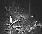Tiger Camera Trap, Mae Wong National Park