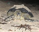 A sea turtle heading for the shore to nest.