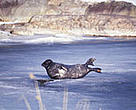 The Saimaa seal is one of the world's most endangered seal species, with only 250 left in the wild.