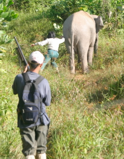 Going after a Bornean Pygmy elephant (&lt;i&gt;Elephas maximus borneensis&lt;/i&gt;) that has just ... / &copy;: WWF-Canon / A. Christy WILLIAMS