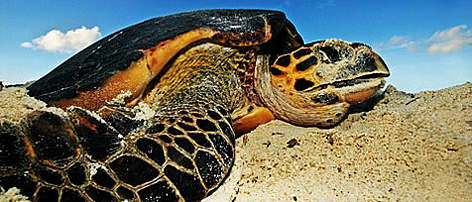 Hawksbill turtle (<i>Eretmochelys imbricata</i>) laying eggs on a beach above high ... rel=