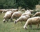 Средностаропланински овце.