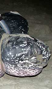 The leatherback turtle named Shelldon. Click to view an enlarged picture. / &copy;: WWF-Canon / Carlos Drews