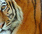 Siberian tiger (&lt;i&gt;Panthera tigris altaica&lt;/i&gt;).