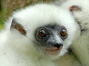 The critically endangered silky sifaka or silky simpona (Propithecus candidus), a lemur species ... / ©: Jeff Gibbs www.jeffgibbs.org