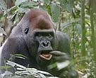 Silverback Mayele is the head of one of the very few lowland gorilla groups that can be visited by tourists in the world.