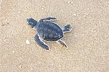 Hatchling Green turtle