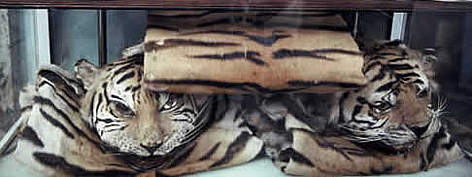 The skins of Indochinese tiger (&lt;i&gt;Panthera tigris corbetti&lt;/i&gt;) and other rare cats ... rel=