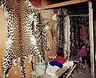 Display of ivory and skins (clouded leopard, leopard, tiger and python), Tachilek market, Burma, across the border from Thailand.