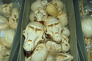 Skulls of Great apes seized at customs.  / &copy;: WWF-Canon / Wil LUIIJF