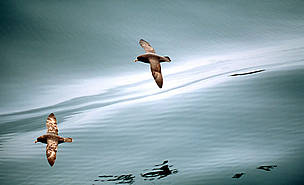 Northern fulmar flying over calm seas Bering Sea, Aleutian Islands, Alaska, United States of ... / ©: WWF-Canon / Kevin Schafer