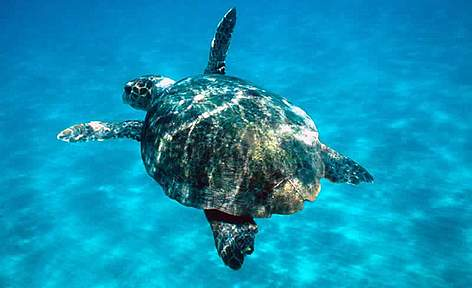 Loggerhead turtle swimming in open sea. Zkinthos, Lagana. rel=