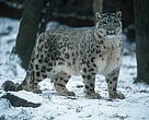Snow leopards live in mountain steppes and coniferous forest scrub at altitudes ranging from 2000 to 6000 meters.