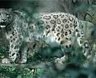 Sightings of snow leopard (&lt;I&gt;Uncia uncia&lt;/I&gt;) and other wildlife have increased in the Kanchenjung Conservation Area.&lt;BR&gt;