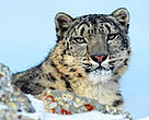 Snow leopard (&lt;I&gt;Uncia uncia&lt;/I&gt;), one of the many species that comes into conflict with humans.