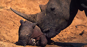 White rhinoceros. Newborn calf with characteristic pink skin. / &copy;: WWF-Canon / Martin HARVEY