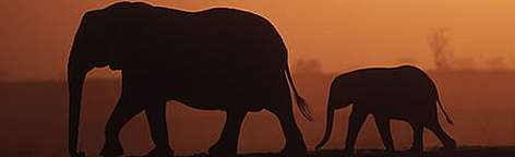 African elephant (<i>Loxodonta africana</i>). Mother and calf, silhouettes against ... rel=