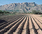 Spain receives some €6.6 billion in agricultural subsidies that are distributed directly to olive, rice or cotton farmers. Traditional irrigation by flooding the fields in Orihuela, Murcia, Spain.