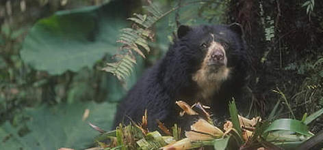 Spectacled bear. Its cloud forest habitat is fast disappearing. rel=