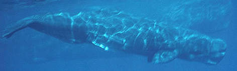 Sperm whales (&lt;i&gt;Physeter catodon&lt;/i&gt;) are the deepest diving mammals, hunting for ... rel=