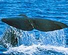 Eleven great whale species are known to occur in the South Pacific region, including the sperm whale.