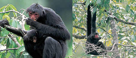 Both: Black spider-monkey. French Guiana. rel=