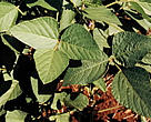 Soya or Soy beans (Glycine soja) plantation