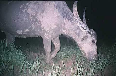 Captured by a camera trap - one of the last wild water buffalos in Cambodia rel=