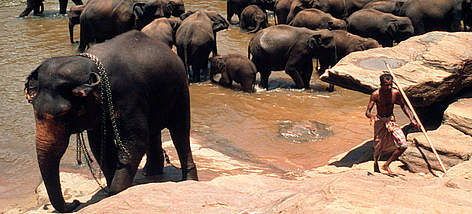 Elephant orphanage of Department of Wildlife Conservation, Pinnawala, Sri Lanka. rel=