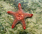 Starfish, Bazaruto Island, Mozambique.&lt;BR&gt;