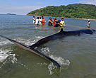 Volunteers from Barangay Calayo and Hamilo Coast guide a 29-foot long Brydes Whale (Baleanoptera edeni) which was stranded by the tide. The whale was swiftly towed and set-free.