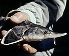 It is estimated that world sturgeon populations have declined by as much as 70 per cent in the past few decades.