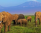 African elephant (<i>Loxodonta africana</i>) herd with Kilimanjaro mountain in the background. Amboseli National Park, Kenya.