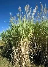 Sugar cane field, close-up. Kafue Flats, Zambia / &copy;: WWF-Canon / Martin HARVEY 