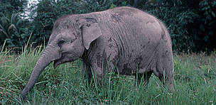 Young Sumatran elephant in Way Kambas, Sumatra, Indonesia.