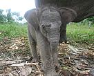 The baby elephant was named Imbo, which is derived from the word 'rimbo' meaning 'forest' in the traditional Malayan language spoken by the people of central Sumatra.