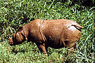 Sumatran rhinoceros (&lt;i&gt;Dicerorhinus sumatrensis&lt;/i&gt;). / &copy;: WWF-Canon / Michel TERRETTAZ